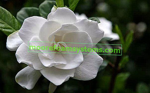 Gardenija u saksiji - uzgoj, njega, zalijevanje, cijena