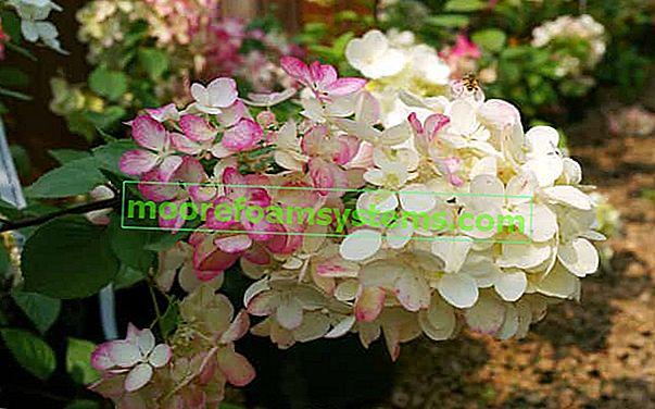 Najljepše sorte buketa hortenzije - pregled i praktični savjeti