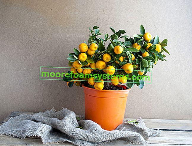 Stablo mandarine kod kuće - cijena, uzgoj, njega