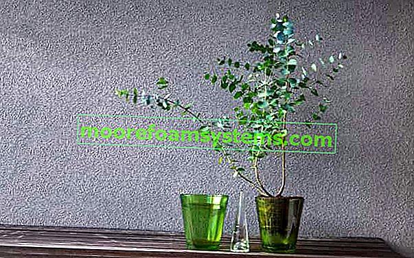 Plavi eukaliptus (Gunni) - sadnja, uzgoj, njega, orezivanje