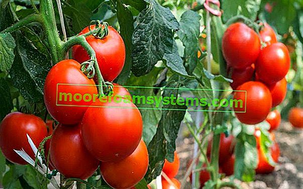 Bolesti rajčice - kako se nositi s njima?