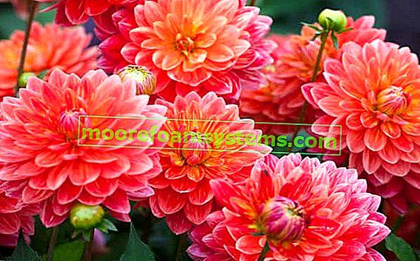 Zahradní dahlia - odrůdy, výsadba, pěstování, péče, nemoci