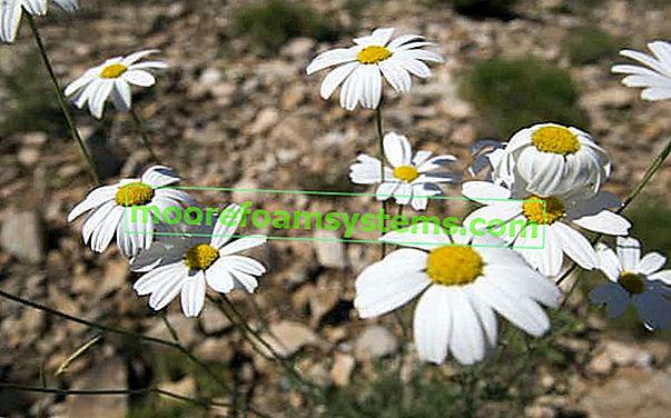 Dalmatinska krizantema - opis, sadnja, uzgoj, njega, savjet