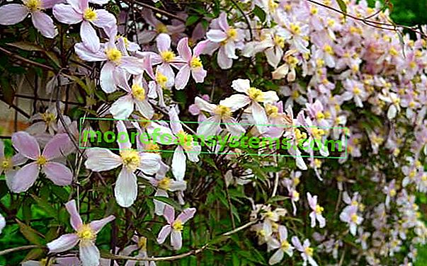 Planinski klematis (Clematis montana) - sorte, uzgoj, njega, savjet