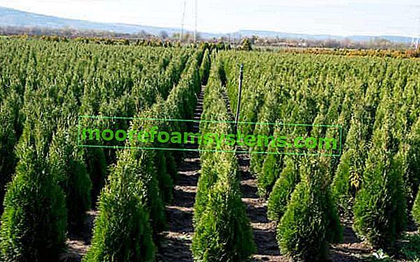 Thuja 'Emerald' - výsadba, pěstování, cena, nemoci, péče, nemoci
