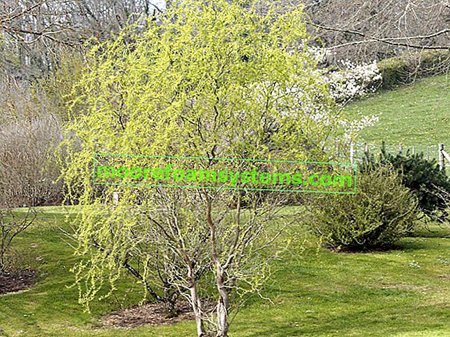 Mandžurska vrba - sadnja, uzgoj, njega, rezanje, razmnožavanje, bolesti
