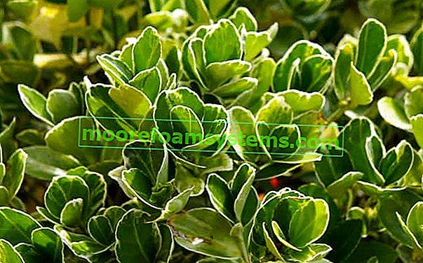 Japanski euonymus - sorte, uzgoj, njega, zahtjevi, savjeti