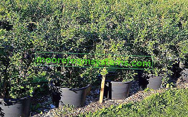 Američka borovnica - svojstva, uzgoj, sorte, sadnja, njega, savjeti
