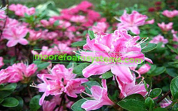Japán azalea - fajták, ültetés, termesztés, gondozás, követelmények