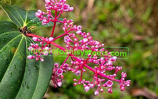Medinilla prekrasan - cvijet u saksiji - uzgoj, njega, zalijevanje, zahtjevi