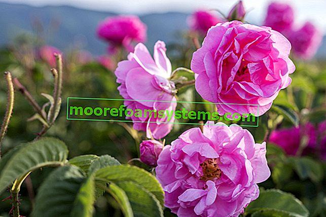 Damaskina ruža - svojstva, primjena, reznice, njega