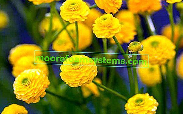 Ranunculus (Ranunculus acris) - opis, uzgoj, njega, sorte