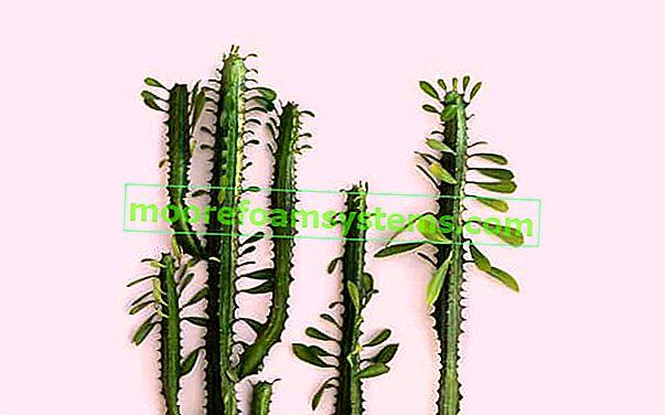 Trorebrasta mućka - sadnja, uzgoj, razmnožavanje, obrezivanje