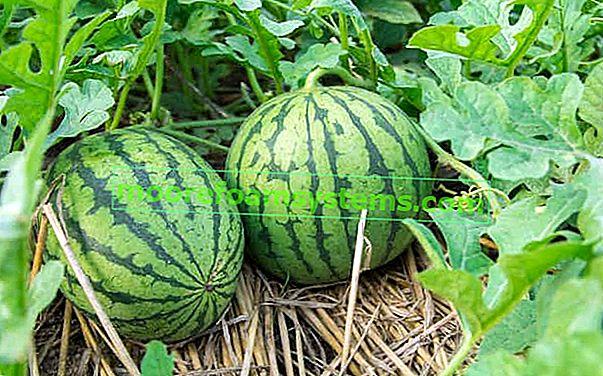 Uzgoj lubenice u zemlji - sadnja, uzgoj, njega, bolesti