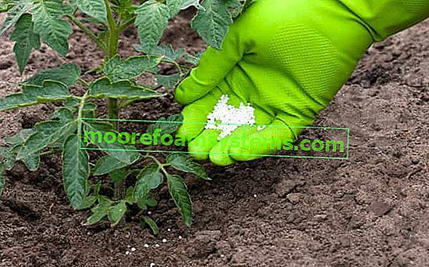 Gnojidba rajčice korak po korak - koje gnojivo od rajčice odabrati i kako ga koristiti?