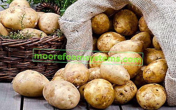 Sorte krumpira u Poljskoj - pregled popularnih vrsta