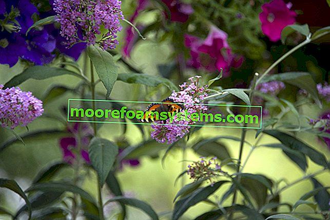 Trobojna budleja - sadnja, njega, orezivanje, uzgoj