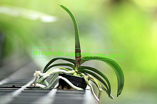 Mealybugs na orhidejama - kako se boriti protiv bijelih crva na orhidejama