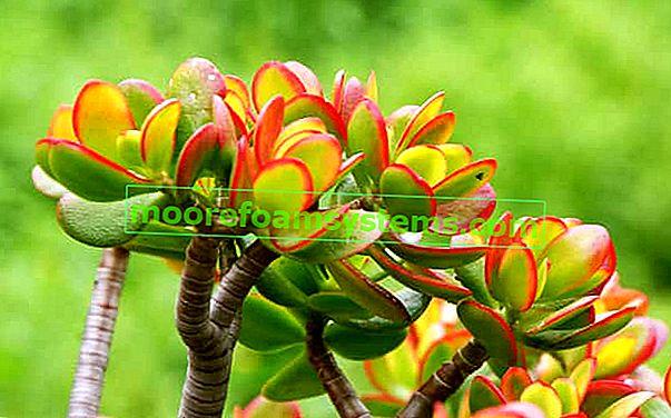 Drvo sreće (crassula) - cijena, briga, uzgoj, obrezivanje, razmnožavanje