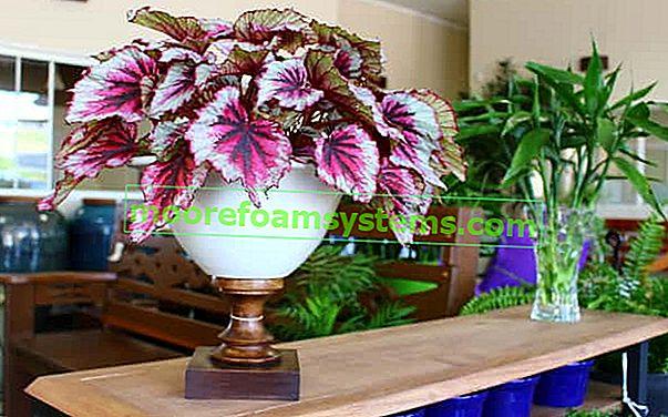 Kraljevska begonija - sorte, uzgoj, njega, zalijevanje, razmnožavanje