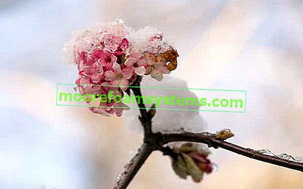 Kalina mirisna - sorte, uzgoj, rezanje, savjeti za njegu