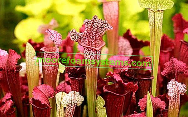 Kapturnica (Sarracenia) - zanimljiva insektivorna biljka - sorte, uzgoj, njega
