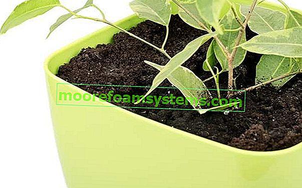 Ficus benjamina - briga, uzgoj i vrijedni savjeti