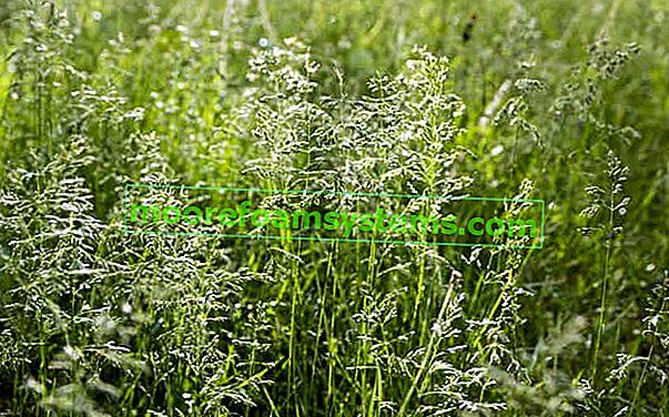 Livadska livadska trava - popularna trava - opis, cijena, sjetva, njega