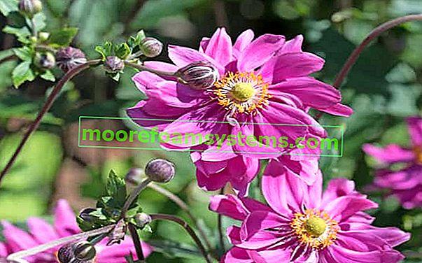 Vrtna anemona - sorte, uzgoj, njega, savjet