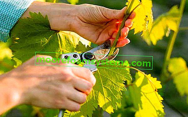 A szőlő metszése lépésről lépésre - hogyan és mikor kell megfelelően vágni a szőlőt?