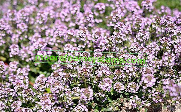 Písek tymián - výsadba, pěstování, péče, použití při léčbě