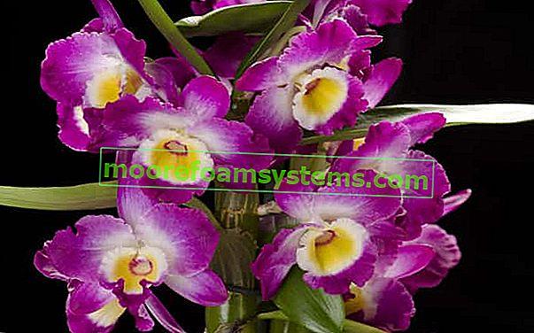 Dendrobium nobile - ennek az egyedülálló orchideának a gondozása, szaporítása és metszése