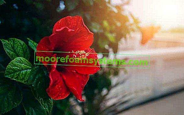Kínai rózsa - gondozás, szaporodás, betegségek és egyéb tippek