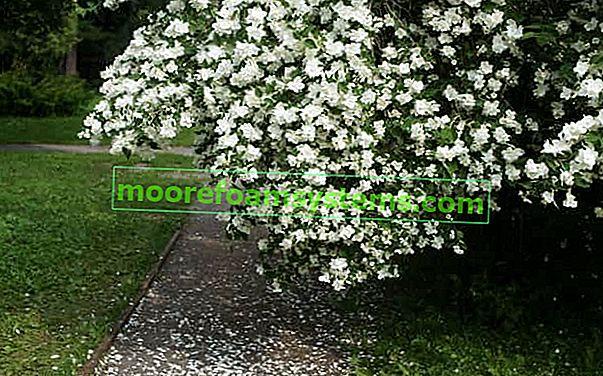 Jasminowiec - fajták, termesztés, gondozás, vágás, szaporítás