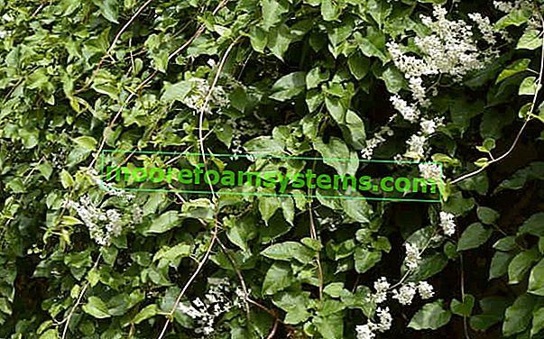 Aubertův křídlatka - výsadba, pěstování, reprodukce, cena, použití