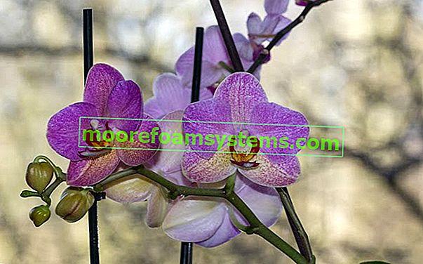 Jak zalévat orchideje - jednoduché a osvědčené tipy