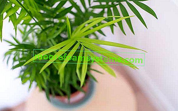 Chamedora elegant (korálová palma) - pěstování, péče, zalévání
