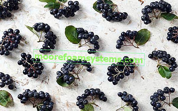 Mikor kell aróniát gyűjteni? Megnézzük a legjobb dátumokat az aronia gyümölcs szedésének?